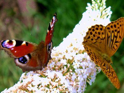 Schmetterlinge i. Waldgarten